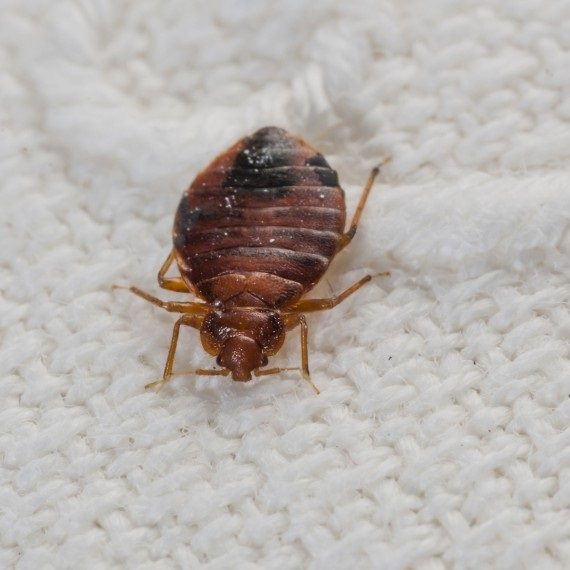Bed Bugs, Pest Control in Uxbridge, Cowley, UB8. Call Now! 020 8166 9746
