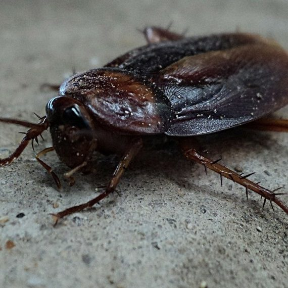 Cockroaches, Pest Control in Uxbridge, Cowley, UB8. Call Now! 020 8166 9746