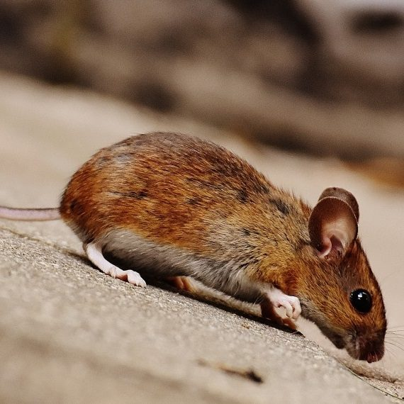 Mice, Pest Control in Uxbridge, Cowley, UB8. Call Now! 020 8166 9746