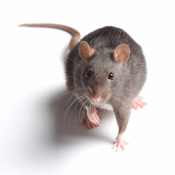 Rats, Pest Control in Uxbridge, Cowley, UB8. Call Now! 020 8166 9746