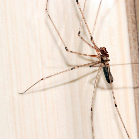 Spiders, Pest Control in Uxbridge, Cowley, UB8. Call Now! 020 8166 9746