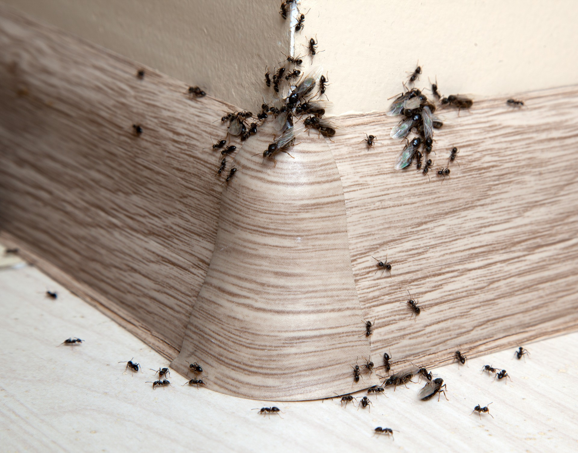 Ant Infestation, Pest Control in Uxbridge, Cowley, UB8. Call Now 020 8166 9746