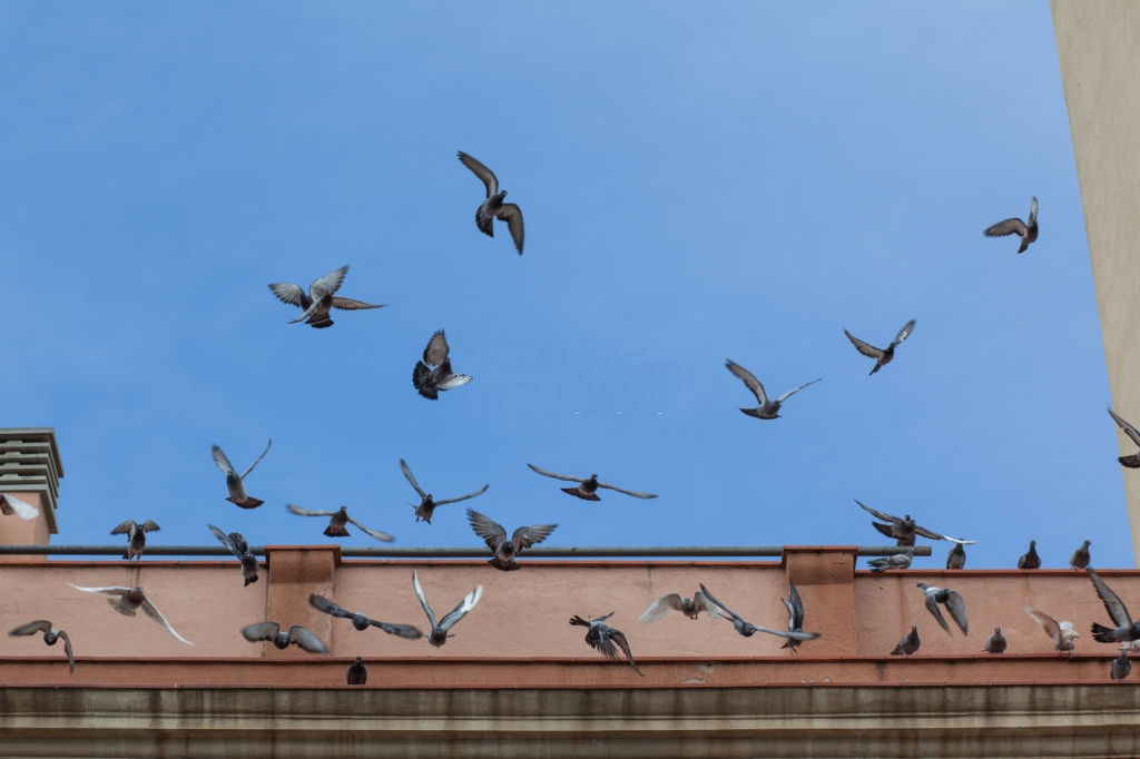 Pigeon Pest, Pest Control in Uxbridge, Cowley, UB8. Call Now 020 8166 9746