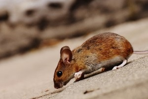 Mouse extermination, Pest Control in Uxbridge, Cowley, UB8. Call Now 020 8166 9746