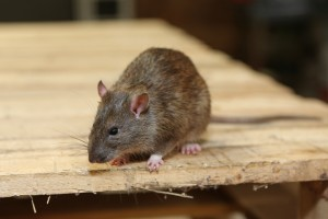 Mice Infestation, Pest Control in Uxbridge, Cowley, UB8. Call Now 020 8166 9746